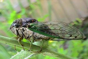 Hmyzová cikada - kdo je to a životní prostředí