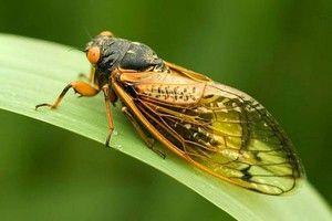 Hmyz Cicada hora
