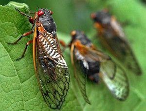 Úžasný hmyz - cikády