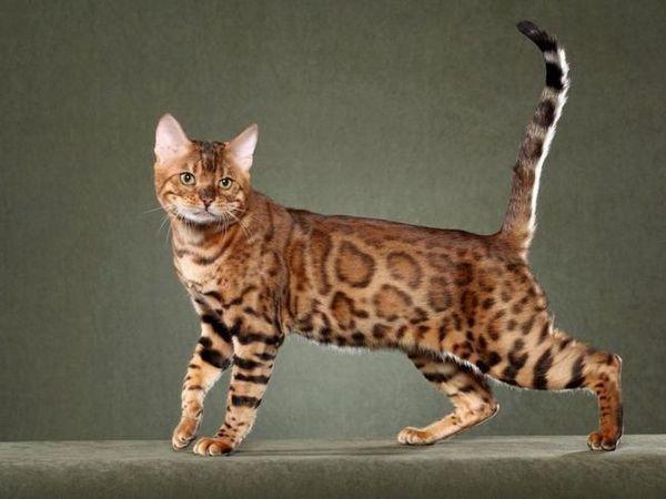 Hladovlasé plemena koček