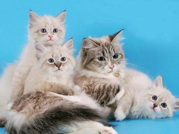 Furry plemena koček