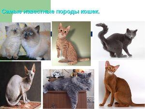 Odrůdy plemen koček
