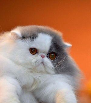 Jaké jsou plemena koček?