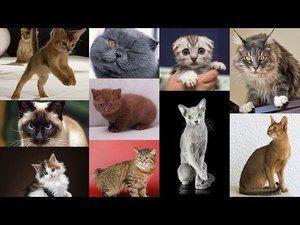 Nejoblíbenější plemena koček
