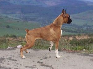 Německý boxer: úžasné plemeno