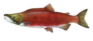 Ryba Nerka, jaké je jeho použití