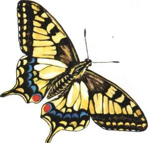 Jak motýl vypadá jako machaon
