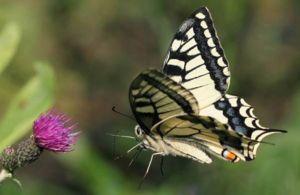 Druhy a poddruhy motýlí mahaonů