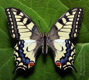 Jak dlouho vydrží motýli mahaon