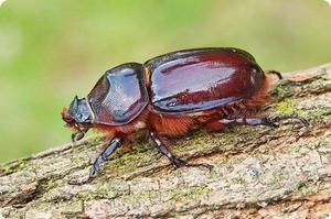 Popis chrobáka nosorožce