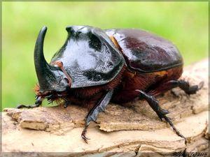 Vzhled chrobáka nosorožce