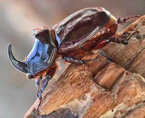 Krmení chrobáků nosorožců