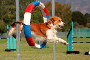 Olympijské hry pro psy. Tato agilita