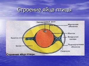 Popis a charakteristika struktury vejce ptáků