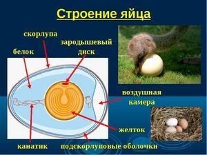Popis struktury ptačího vajíčka