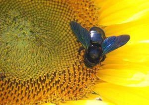 Přehled včelích tesařů
