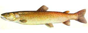 Popis rybích pstruhů. Rozdíly mezi mořem a řekou pestrou