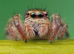 Oči pavouka