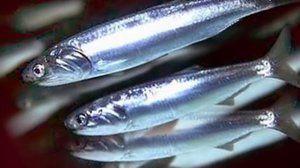 Vlastnosti: hamsa fish (Černé moře)