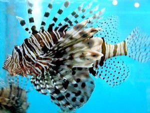 Zvláštnosti života ryb lvíčkovité