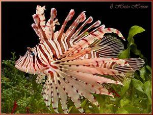 Ryba-lionfish