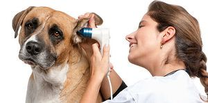 Otitis u psa, než léčit: alergický otitis
