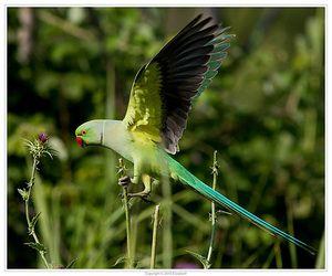 Papoušek papoušek v letu