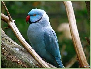 Modrý pařený papoušek