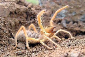 Spider phalanx -