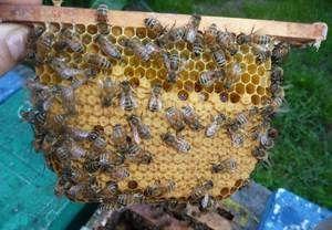 Včelí kostí: charakteristika plemene a rysy včel