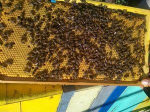 Plemeno včel