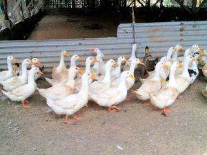 Peking kachna: chov doma