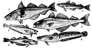 Nutriční hodnota rybího treska
