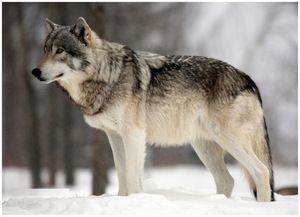 Po stopách lesního dravce po balení. Wolf, jeho barva a popis
