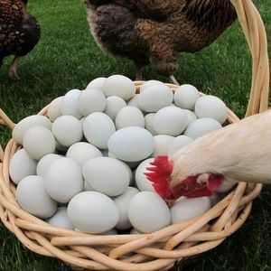 Proč kuřata mohou jíst vajíčka: co dělat