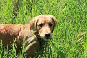 Proč pes chtěl jíst trávu při procházce?