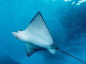 Podmořské lety mořských paprsků. Úžasné ploché ryby