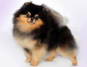Pomeranian Black Spitz: popis, krmení, tipy na péči