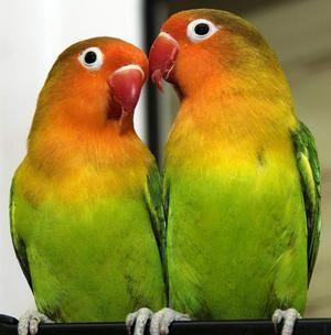 Papoušci jsou neoddělitelné: rysy druhu, péče a obsah