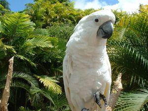 Parrot kakadu: krásný pták, společník a přítel