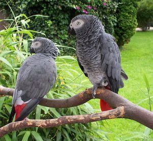 Parrot je chamtivý nebo africký šedý papoušek