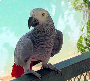 Jak vypadá papoušek zhako