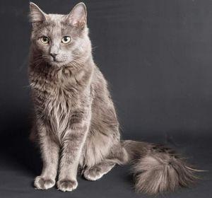Plemeno koček nibelung a jeho charakteristiky