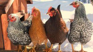 Druhy kuřat: nejlepší vrstvy pro hospodářství
