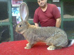 Obrovské králíky
