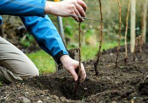 Výsadba ovocných stromů na jaře a na podzim