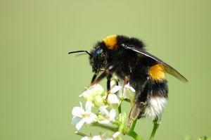 Důsledky kousnutí čmeláka. Co mám dělat, když kousnu bumblebee?