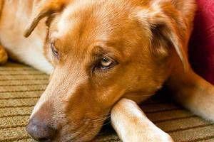 Známky ukazující infekci psa s červy