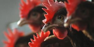 Nemoci ptáků