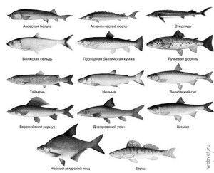 Odrůdy komerčních ryb